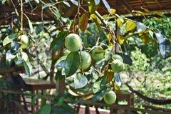 Gwiazdowego jabłka owoc Fotografia Stock