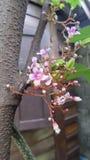 Gwiazdowej owoc kwiaty Obrazy Royalty Free