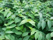 Gwiazdowi agrestów liście w ogródzie Fotografia Royalty Free