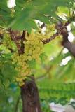 Gwiazdowy agrest lub Otaheite agrest, jadalna mała żółtych jagod owoc Obrazy Royalty Free