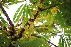 Gwiazdowy agrest lub Otaheite agrest, jadalna mała żółtych jagod owoc Zdjęcia Stock