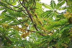 Gwiazdowy agrest lub Otaheite agrest, jadalna mała żółtych jagod owoc Fotografia Stock