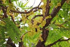 Gwiazdowy agrest lub Otaheite agrest, jadalna mała żółtych jagod owoc Fotografia Royalty Free