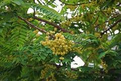 Gwiazdowy agrest lub Otaheite agrest, jadalna mała żółtych jagod owoc Zdjęcia Royalty Free