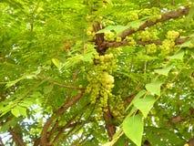 Gwiazdowy agrest na drzewie Zdjęcie Royalty Free