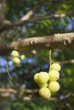 Gwiazdowy agrest na gwiazdowym agrestowym drzewie; Otaheite agrest, Malajski agrest Obraz Royalty Free
