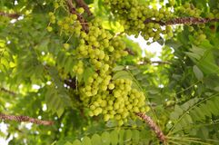 Gwiazdowy agrest Owoc z wysoką witaminy C zawartością Obraz Stock