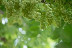 Gwiazdowy agrest Owoc z wysoką witaminy C zawartością Obraz Royalty Free