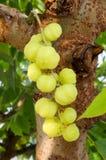 Gwiazdowy agrest Owoc z wysoką witaminy C zawartością Obrazy Royalty Free