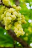 Gwiazdowy agrest Owoc z wysoką witaminy C zawartością Obrazy Stock