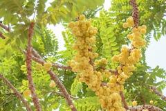 Gwiazdowy agrest Owoc z wysoką witaminy C zawartością Zdjęcie Royalty Free