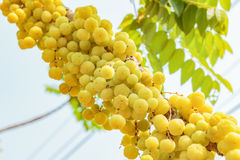 Gwiazdowy agrest Owoc z wysoką witaminy C zawartością Zdjęcia Stock