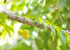 Gwiazdowy agrest Owoc z wysoką witaminy C zawartością Zdjęcia Royalty Free
