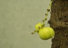 Gwiazdowy agrest Owoc z wysoką witaminy C zawartością Fotografia Royalty Free