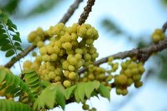 Gwiazdowy agrest Owoc z wysoką witaminy C zawartością Gwiazdowa agrestowa owoc owoc wieszają na ich naturalnej gałąź Obrazy Royalty Free