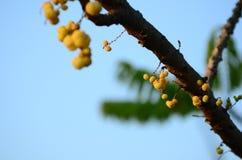 Gwiazdowy agrest Owoc z wysoką witaminy C zawartością Gwiazdowa agrestowa owoc owoc wieszają na ich naturalnej gałąź Obraz Royalty Free