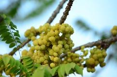 Gwiazdowy agrest Owoc z wysoką witaminy C zawartością Gwiazdowa agrestowa owoc owoc wieszają na ich naturalnej gałąź Zdjęcie Royalty Free