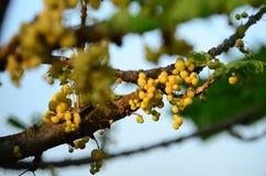 Gwiazdowy agrest Owoc z wysoką witaminy C zawartością Gwiazdowa agrestowa owoc owoc wieszają na ich naturalnej gałąź Zdjęcia Royalty Free