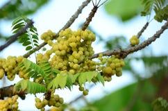 Gwiazdowy agrest Owoc z wysoką witaminy C zawartością Gwiazdowa agrestowa owoc owoc wieszają na ich naturalnej gałąź Obrazy Stock