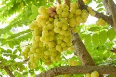 Gwiazdowy agrestowy drzewo Zdjęcie Royalty Free