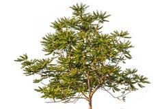 Gwiazdowy agrestowy drzewo dalej odizolowywa Fotografia Royalty Free