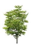 Gwiazdowy Agrestowy drzewo odizolowywający Fotografia Royalty Free