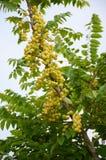 Gwiazdowy agrestowy drzewo w ogródzie Zdjęcie Royalty Free