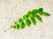 Gwiazdowy agrestowy liść Obraz Stock
