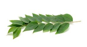 Gwiazdowy agrestowy liść na bielu Zdjęcia Stock