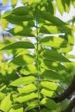Gwiazdowy agrestowy liść na gwiazdowym agrestowym drzewie; Otaheite agrest, Malajski agrest, Tahitański agrest, kraj Obrazy Royalty Free