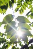 Gwiazdowy agrestowy liść na gwiazdowym agrestowym drzewie w światło słoneczne dniu Zdjęcia Royalty Free