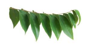 Gwiazdowy agrestowy liść odizolowywający Obrazy Stock