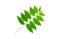Gwiazdowy agrestowy liść odizolowywający na białym tle Obrazy Royalty Free