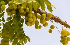 Gwiazdowy Agrestowy Naukowy imię: Phyllanthus acidus wiązka f Fotografia Royalty Free
