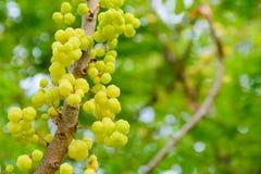 Gwiazdowy agrestowy owocny pełny Obrazy Royalty Free