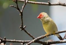 Gwiazdowy Finch zdjęcie stock