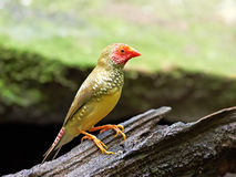 Gwiazdowy Finch (Neochmia ruficauda) zdjęcia stock