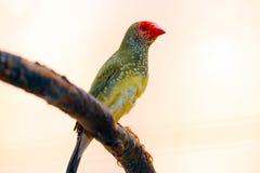 Gwiazdowy finch z czerwoną twarzą od Australia obsiadania na gałąź i belfrem fotografia royalty free