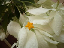 Gwiazdowy kwiat Obrazy Royalty Free