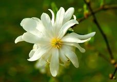 Gwiazdowy Magnoliowy Zbliżenie Obraz Royalty Free