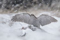 GWild goshawk with spread wings Royalty Free Stock Images