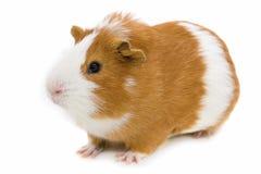 gwinea biel odosobniony świniowaty czerwony Zdjęcia Stock
