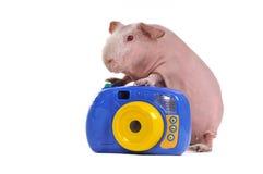 gwinei fotografa świnia obraz royalty free