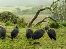 Gwinei ptactwo w deszczu obrazy stock
