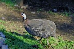 Gwinei ptactwo w gospodarstwie rolnym Zdjęcie Stock