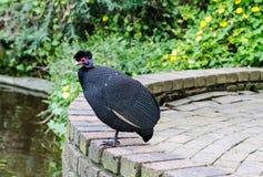 Gwinei ptactwo w Południowa Afryka Zdjęcie Stock