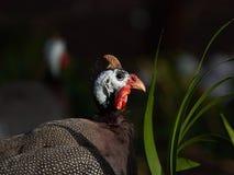 Gwinei ptactwo z biel kierowniczą i jaskrawą czerwoną skóry gręplą wśród zielonej trawy na czarnym tle, Afryka Obrazy Stock