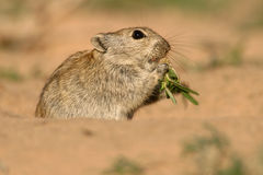 gwizdać szczura Zdjęcia Royalty Free