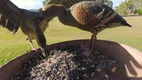 Gwizdający nurkuje dendrocygna eytoni atakuje each inny, zwolnione tempo zbiory