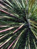 Gwożdżący kaktusy Obraz Stock